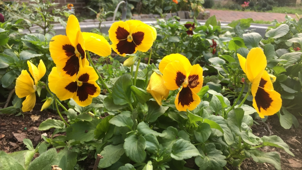 Look for Pansies in the Courtyard!